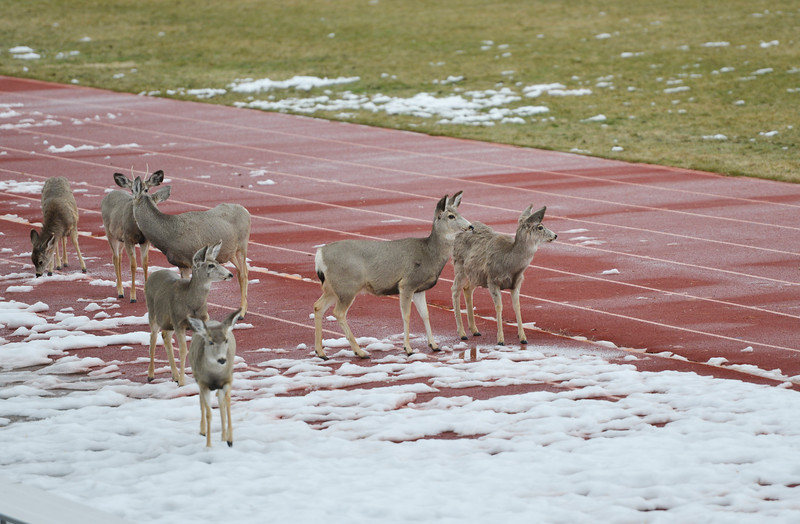 Justin Sheely | The Sheridan Press<br /> A herd of deer stand on the track at the Sheridan Junior High School Wednesday in Sheridan. Colder temperatures and 5 - 10 inches of snow are expected Thursday through Friday, according to a winter storm warning issued by the National Weather Service.