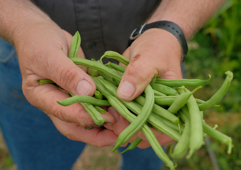 Justin Sheely | The Sheridan Press<br /> Mark Bullick harvests green beans from his garden plot Thursday morning at Sagebrush Community Garden. Community gardening are open to anyone wanting to grow their own produce. For an annual fee, land, water and tools are provided for growing. Community gardens are a common model in Europe for people living in urban areas without land to grow their own food. Anyone interested in growing at a community garden may contact: Sagebrush Community Garden, 307-675-4260.