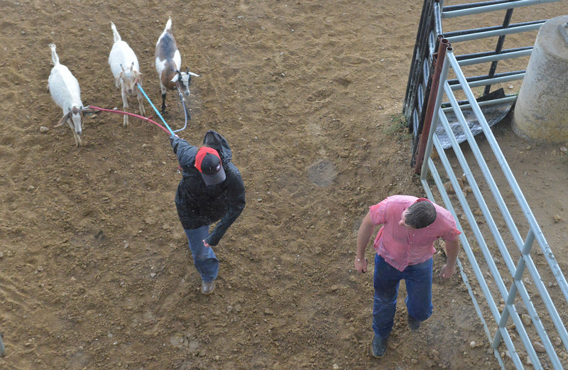 Justin Sheely | The Sheridan Press<br /> People lead goats out of the rain during the Sheridan Cowgirls Association Rodeo Thursday at the Sheridan County Fairgrounds. The rodeo was cut short after the thunderstorm dumped rain and hail.