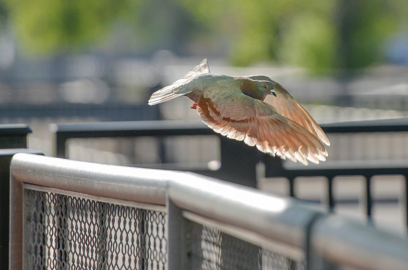 Justin Sheely | The Sheridan Press<br /> A Rock Dove launches from the rail along the Little Goose Creek on Tuesday.