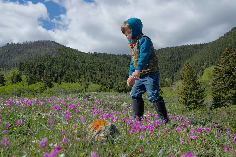 "Justin Sheely | The Sheridan Press<br /> Four-year-old Oliver Houck looks at the wildflowers that blanket a field during The Sheridan Community Land Trust and Science Kids ""Unplug"" event Saturday at the Red Grade Trail System. Families were invited on self-guided nature scavenger hunts on the paths that crisscross the east face of the Bighorn Mountains near Red Grade road."