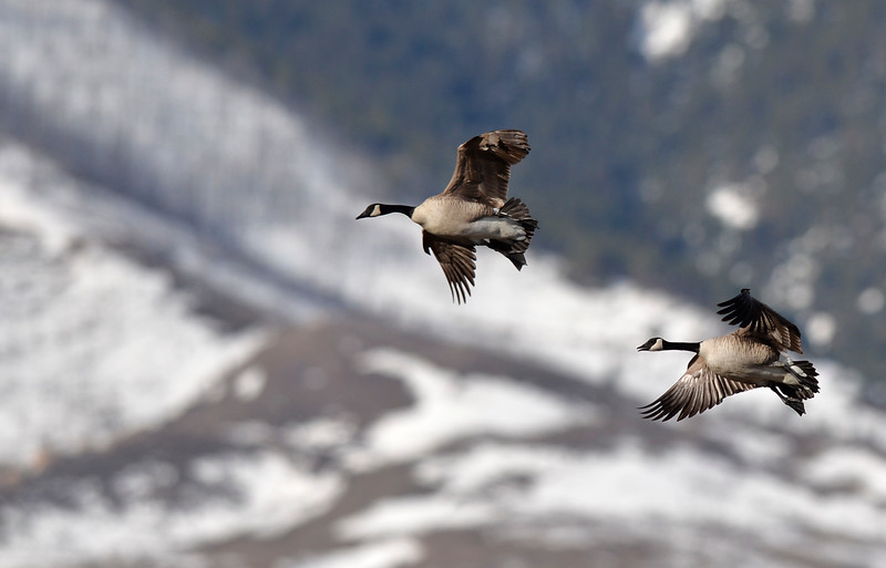Justin Sheely | The Sheridan Press<br /> Canada Geese fly towards a pond during the Bighorn Audubon Society Birding at the Brinton Saturday in Big Horn.