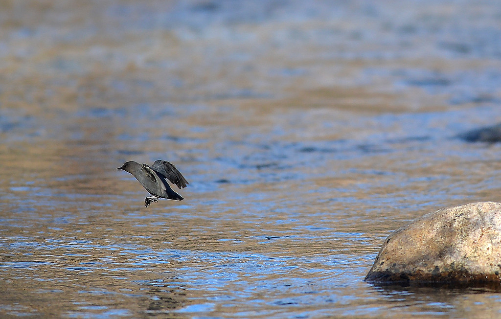 Justin Sheely | The Sheridan Press<br /> The American Dipper leaps from a rock in the Little Goose Creek during the Bighorn Audubon Society Birding at the Brinton Saturday in Big Horn.