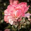 Rose Garden-2976