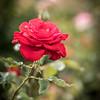 Rose Garden-2973