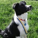 Riley, Border Collie - with STAR