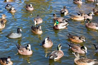 Ducks C5977