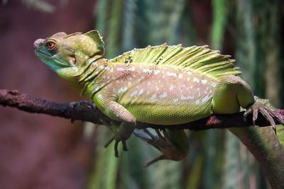 lizard C5799