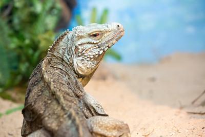 lizard C5874