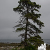 Storm tossed pine at Seawall.