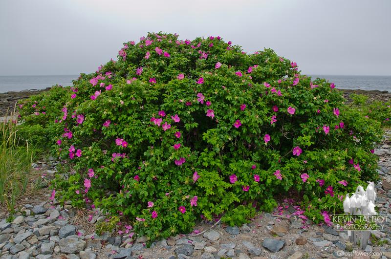 Beach Rose (Rosa rugosa) 1.