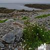Oxeye Daisy (Chrysanthemum leucanthamum) At Seawall.
