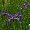 Blue Flag Iris (Iris versicolor) At Seawall.