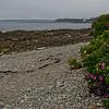 Beach Rose (Rosa rugosa) 2.