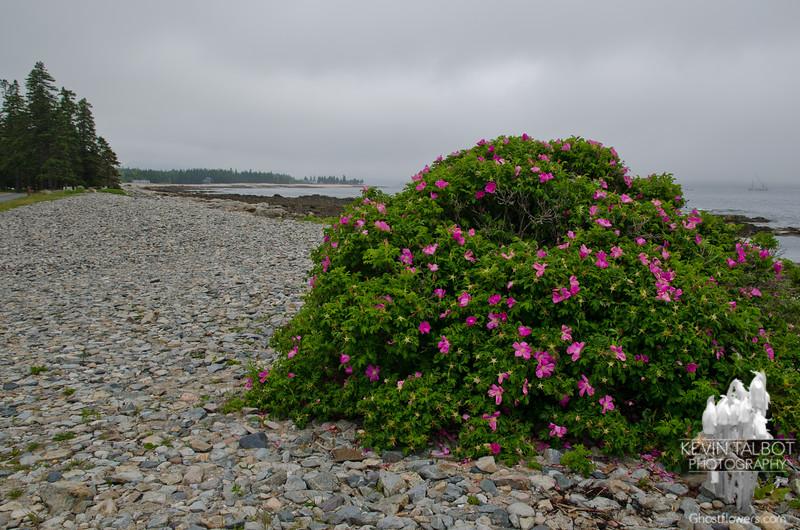 Beach Rose (Rosa rugosa) 3.