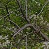 Common Blackberry (Rubus allegheniensis) in the campground.