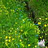 Common Buttercup (Ranunculus acris) and True Forget-me-not (Myosotis scorpioides)