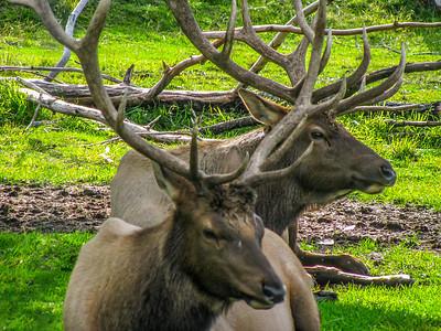 Bull elk at Alaska Wildlife Conservancy 2009.
