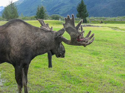 Alaska Wildlife Conservancy 2009; bearded moose shedding velvet