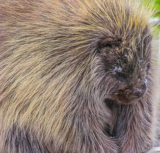 Alaska Wildlife Conservancy porky pine 2009.
