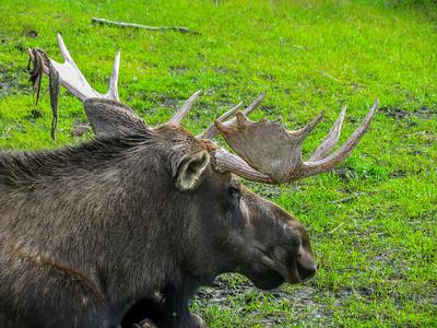 Alaska Wildlife Conservancy 2009; antlered moose shedding velvet