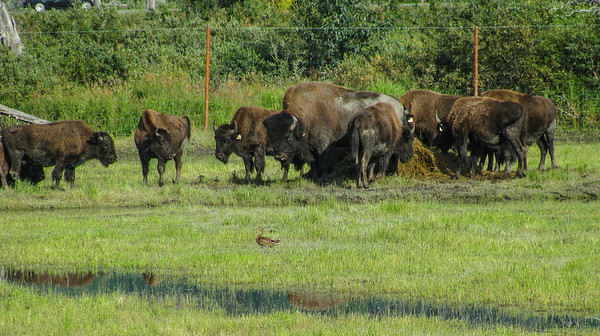 Alaska Wildlife Conservancy 2009; American Bison