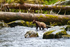 young grizzly in the water