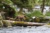 young grizzly and eagle. Anan Creek, Alaska