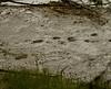 bearprints in the sand