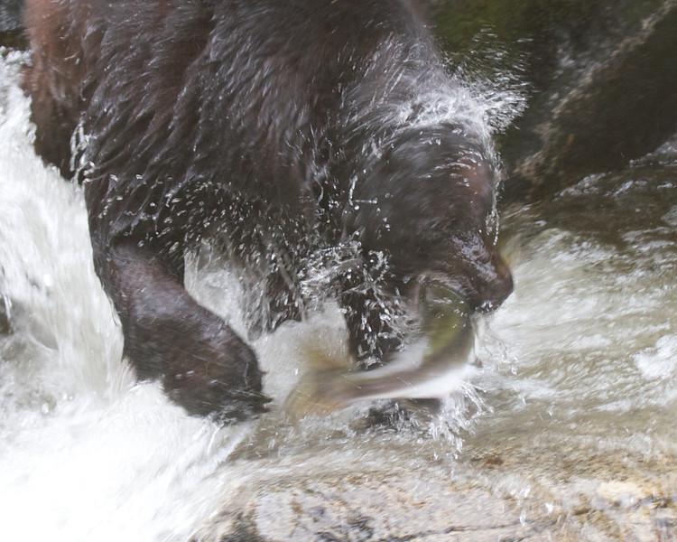 Black Bear catching pink salmon