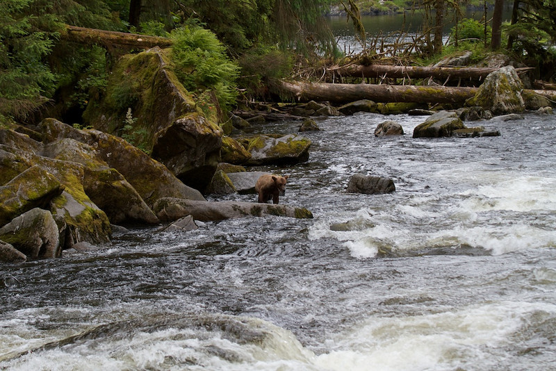 Young Grizzly learning to fish at Anan Creek