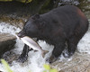 Black Bear fishing for pink salmon