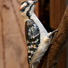 "Downy Woodpecker.  10""h x4""w x 4""d; paperclay. (NFS)"