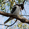 The Kookaburra is one of the worlds largest Kingfishers.  This one was seen on the banks of the Swan River in Perth.  It has caught a rat.  The Laughing Kookaburra is not native to Western Australia's South West and is a pest.  It eats many small animals including small birds.