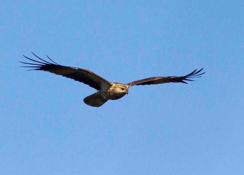 Whistling Kite <br /> Canon 60D 400mm 5.6 lens.