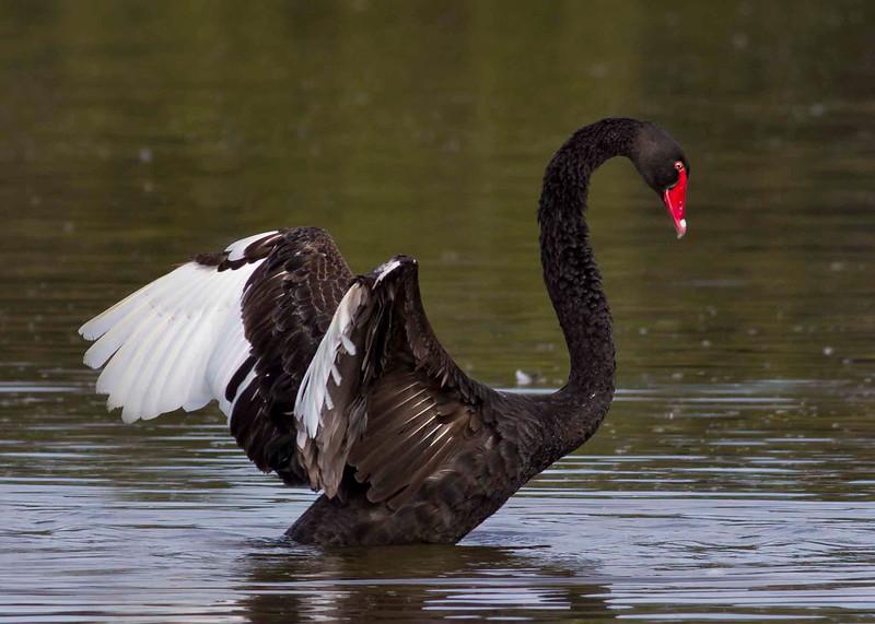 Black Swan.  Canon 60D 400mm 5.6 lens.