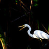 Great Egret at sunset in typha.<br /> Canon 60D<br /> Canon 400mm 5.6 lens