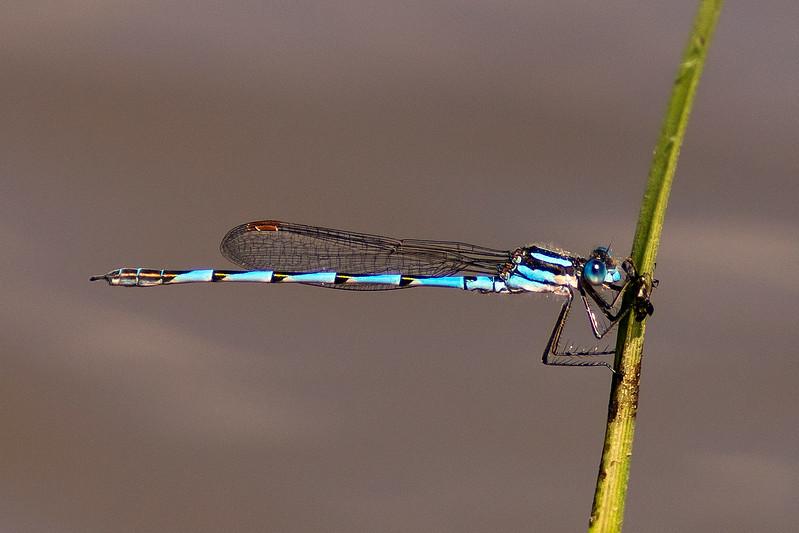 Austrolestes annulosus  Blue Ringtail