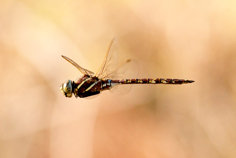 The Canon 400 is not bad at capturing insects like this dragonfly captured in flight.
