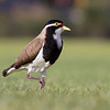Banded lapwing is the most common of the field plovers in the South West of Western Australia.  They are becoming rarer in the Perth metro area as they persist in nesting on grassed areas that are mown regularly.
