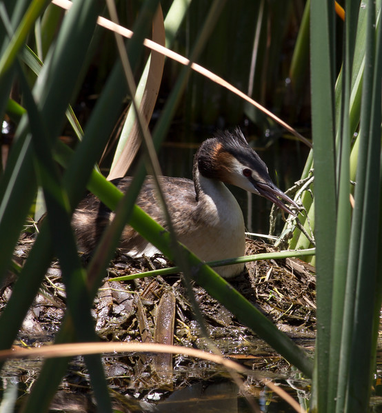 Great-crested Grebe on nest.