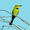 Rainbow Bee-eaters move into the perth metro area as the summer kicks in.  Their brrrr brrr call is often heard before they are spotted circling high above.