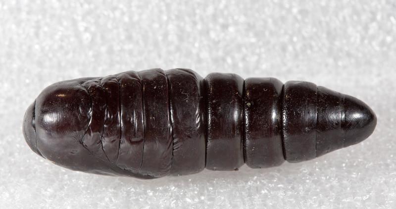Hylaeora dilucida -  pupa