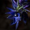 Thelemitra macrophylla