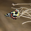Spotted Jezabel - Delias aganippe<br /> Canon 60D 300mm 2.8 L