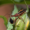 Assassin Bug eating Ladybird.<br /> Tamron 180 Macro