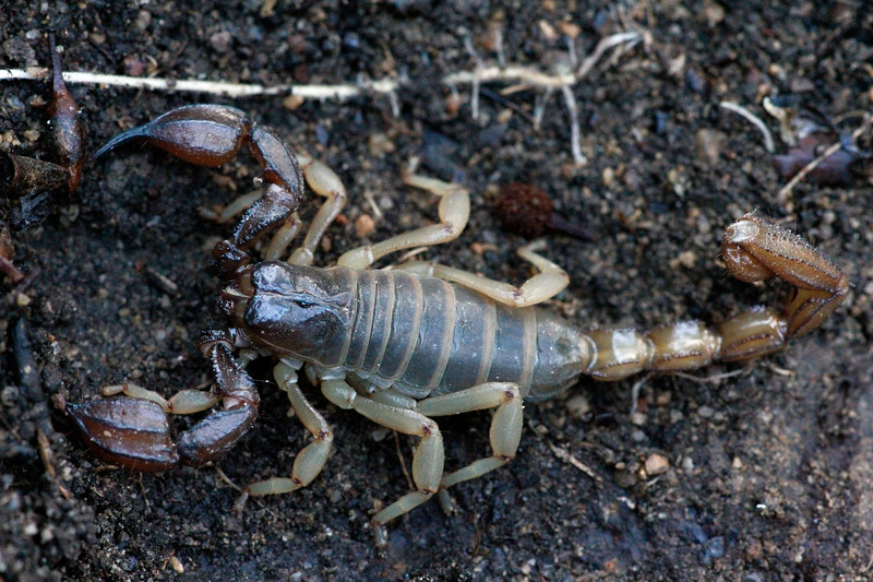 Darling Gravel Scorpion - Urodacus planimanus<br /> Canon 60D 100mm 2.8 EF Macro lens.
