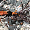 Hornet capturing spider.