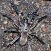 Wolf Spider - uni sp.<br /> Mundaring Weir