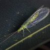 Golden Eyed Lacewing - Ellis Brook